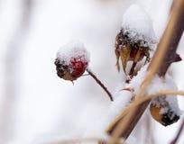 Briar στο χιόνι Μακροεντολή Στοκ φωτογραφία με δικαίωμα ελεύθερης χρήσης