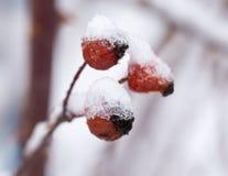 Briar στο χιόνι Μακροεντολή Στοκ Φωτογραφία