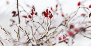 Briar и снег стоковое фото rf