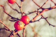 Briar красного цвета Wintertime Стоковые Фотографии RF