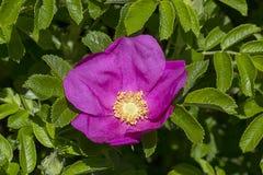 Briar, открытый цветок в зеленых листьях Стоковое Фото