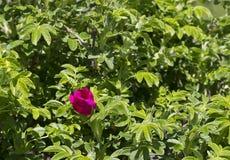 Briar, открытый цветок в зеленых листьях Стоковая Фотография