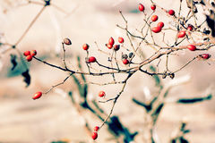 Briar in autumn Stock Photography