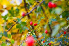 Briar berries stock photos