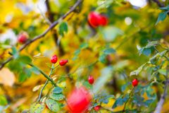 Briar berries royalty free stock image