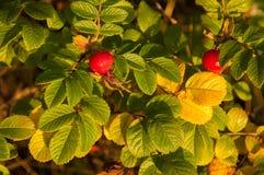 Briar berries royalty free stock images