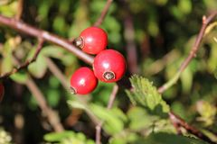 Briar berries growing on branches of a bush Stock Photos