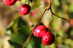 Briar berries growing on branches of a bush Stock Photo