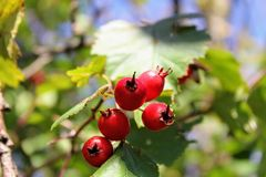 Briar berries growing on branches of a bush Royalty Free Stock Photography
