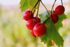 Briar berries growing on branches of a bush Royalty Free Stock Photos