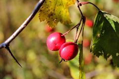 Briar berries growing on branches of a bush Stock Images