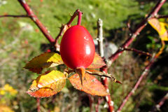 Briar berry. Red dog-rose, briar, brier, eglantine, canker-rose berries on tree growing in the wild nature green background behind. Summer berries Stock Photography