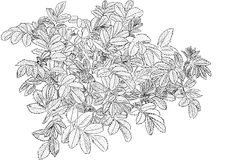 Briar branches monochrome. Bush rose in black and white Royalty Free Stock Photos