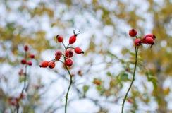 Красные зрелые ягоды briar, фото макроса Куст бедер со зрелыми ягодами Ягоды dogrose на кусте Плоды диких роз Терновый стоковые изображения