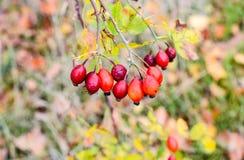 Красные зрелые ягоды briar, фото макроса Куст бедер со зрелыми ягодами Ягоды dogrose на кусте Плоды диких роз Терновый стоковые фотографии rf