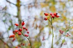 Красные зрелые ягоды briar, фото макроса Куст бедер со зрелыми ягодами Ягоды dogrose на кусте Плоды диких роз Терновый стоковое изображение
