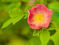 Briar bush flower Royalty Free Stock Photo