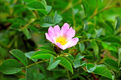 Briar flower in the garden Royalty Free Stock Images