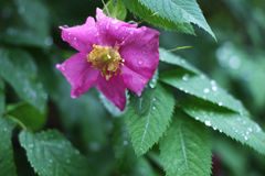 Briar flower. Pink briar flower close-up on a background of green leaves after rain Stock Photo