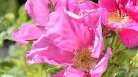 Briar flower stock footage