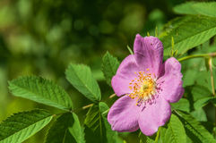 Briar flower wild rose Stock Photo