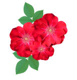 Briar flowers isolated. On white background stock images