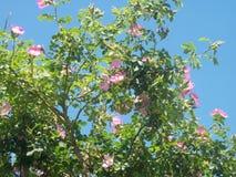 Briar-ros buske och blå himmel arkivfoton