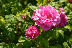Briar rosa rose flowers bush sunny day. Background Stock Image
