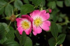 Briar Rose dulce (rubiginosa de Rosa) Foto de archivo libre de regalías