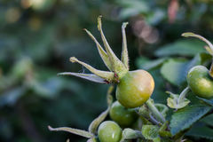 Briar. Shrub rose hips with blurred background Stock Photography