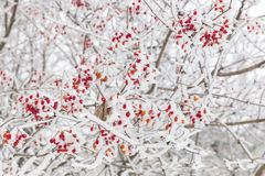 Briar and snow Stock Images