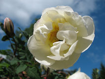 Briar spinoso di fioritura (spinosissima del Rosa) Fotografie Stock