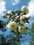 Briar spinoso di fioritura (spinosissima del Rosa) Immagini Stock Libere da Diritti