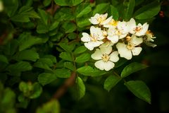Briar. In summer, the wild rose bush blooming delicate flowers Stock Images