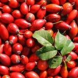 Briar trägt Früchte (Heckenrose) Stockfotografie