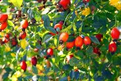 Briar vermelho Imagem de Stock Royalty Free