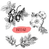 Briar. Wild rose Royalty Free Stock Photos