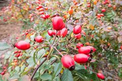 Briar, wild rose hip shrub in nature autumn vitamin.  Stock Photo