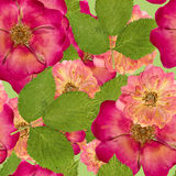 Briar, wild rose,. Seamless pattern texture of pressed dry flowe Royalty Free Stock Image