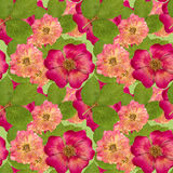 Briar, wild rose,. Seamless pattern texture of pressed dry flowe Stock Image