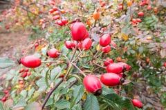Briar, wilde rozebottelstruik in de vitamine van de aardherfst Stock Foto