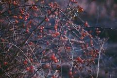 Briarbusch mit Beeren - heilend Hagebutten/dogrose/Briar gro Stockfotografie