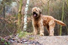 Briard собаки в лесе Стоковое фото RF