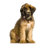 Briard. Sitting in front of white background Royalty Free Stock Photography