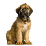 Briard Royalty Free Stock Photos