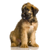 Briard. Sitting in front of white background Stock Image