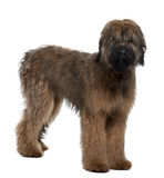 Briard, 6 Months Old, standing. In front of white background Stock Photos