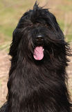 Briard Royalty Free Stock Photography