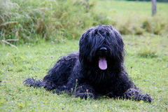 Briard Royalty Free Stock Images