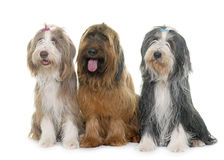 Briard and bearded collies in studio Royalty Free Stock Image